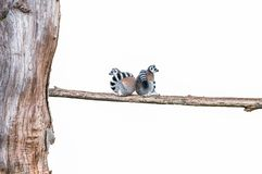 Lemurs cropped love. On trunk Royalty Free Stock Photo