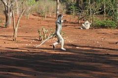 Lemurs del sifika de Verreaux del baile Imagenes de archivo