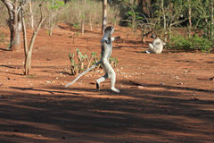 Lemurs do sifika de Verreaux da dança Imagens de Stock