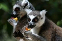 Lemurs Eating Royalty Free Stock Images