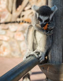 Lemurs eating carrot in Athens in Greece Royalty Free Stock Image