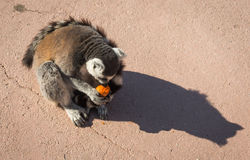 Lemurs eating carrot in Athens in Greece Stock Image