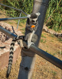Lemurs eating carrot in Athens in Greece Stock Photography