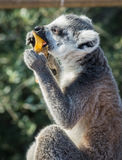Lemurs eating carrot in Athens in Greece Royalty Free Stock Photography