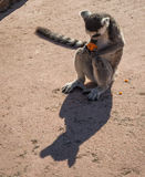Lemurs eating carrot in Athens in Greece Stock Photos