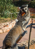 Lemurs eating carrot in Athens in Greece Royalty Free Stock Photos