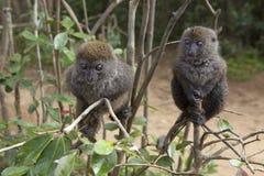 Lemurs en bambou Image stock