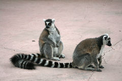 Lemurs, endangered Royalty Free Stock Images