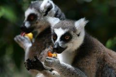 Lemurs-Essen Lizenzfreie Stockbilder