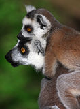 Lemurs family Stock Photography
