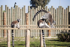 Lemurs. Family of ring-tailed lemurs Royalty Free Stock Images