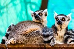 Lemurs family Stock Images
