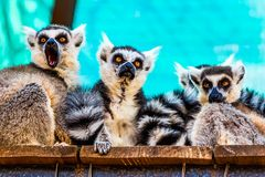 Lemurs family Stock Image