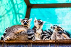 Lemurs family Royalty Free Stock Photos