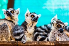 Lemurs family Stock Photography