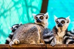 Lemurs family Royalty Free Stock Images