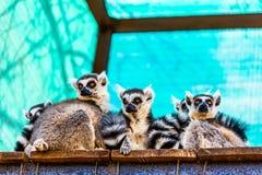 Lemurs family Stock Photo