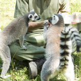 Lemurs feeding Royalty Free Stock Image