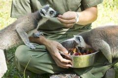 Lemurs feeding Royalty Free Stock Photography