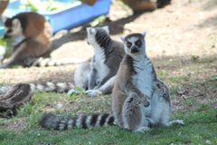 Lemurs. Stock Image