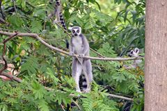 Lemurs in the foreground, perched. Lemurs in the foreground perched on a railing Royalty Free Stock Photos