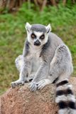 Lemurs in the foreground, perched. Lemurs in the foreground perched on a railing Royalty Free Stock Photo