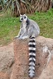 Lemurs in the foreground, perched. Lemurs in the foreground perched on a railing Stock Photos