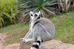 Lemurs in the foreground, perched. Lemurs in the foreground perched on a railing Royalty Free Stock Images