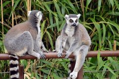 Lemurs in the foreground, perched. Lemurs in the foreground perched on a railing Stock Images