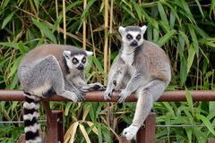 Lemurs in the foreground, perched. Lemurs in the foreground perched on a railing Royalty Free Stock Image