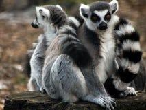 lemurs stockbilder
