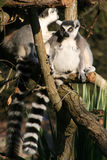Lemurs - France Royalty Free Stock Images