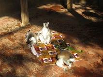 Lemurs. Funny lemurs. Lemurs in the sun. Lemurs in the sun. Lemurs. Funny lemurs. Funny animals. Lemurs on the carpet Stock Image
