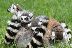 Lemurs gang in embrace. Lemurs are partying in the grass Stock Photography