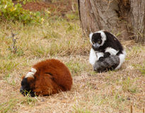 Lemurs on the grass. Black and White Ruffed Lemur is looking on the sleeping  Red Ruffed Lemur. Focus on the Black and White Ruffed Lemur Royalty Free Stock Photography