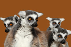 Lemurs Stock Photo