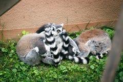 Lemurs. Stock Images