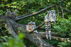 Lemurs with hanging tails sitting on a branch at the edge of the water in ZOO. Royalty Free Stock Photo