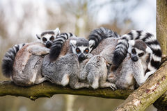 Lemurs hugging Royalty Free Stock Photos