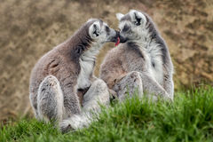 Lemurs kissing. A pair of ring tailed lemurs sitting on grass one licking the other as if kissing Royalty Free Stock Photo