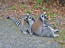 Lemurs. Are a family of primates found in Madagascar Stock Photo
