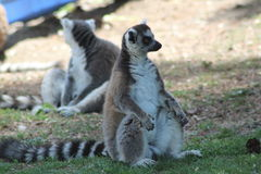 Lemurs. Little lemurs in the zoo Royalty Free Stock Photo