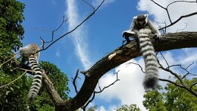 Lemurs having rest on branch. Lemurs with long black and white tails sitting on branch of a tree and having rest stock video footage