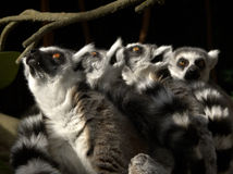 Lemurs Looking Up Royalty Free Stock Photos