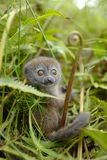 Lemurs in Madagascar. Lemurs are a clade of strepsirrhine primates endemic to the island of Madagascar Royalty Free Stock Photography