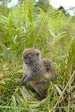 Lemurs in Madagascar. Lemurs are a clade of strepsirrhine primates endemic to the island of Madagascar Stock Image