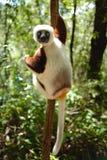 Lemurs in Madagascar. Lemurs are a clade of strepsirrhine primates endemic to the island of Madagascar Stock Images