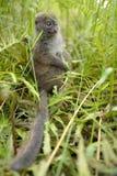 Lemurs in Madagascar. Lemurs are a clade of strepsirrhine primates endemic to the island of Madagascar Stock Photos