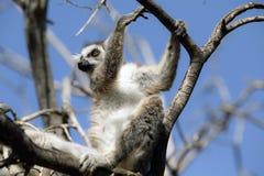 Lemurs of Madagascar Stock Images