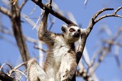 Lemurs of Madagascar Royalty Free Stock Image